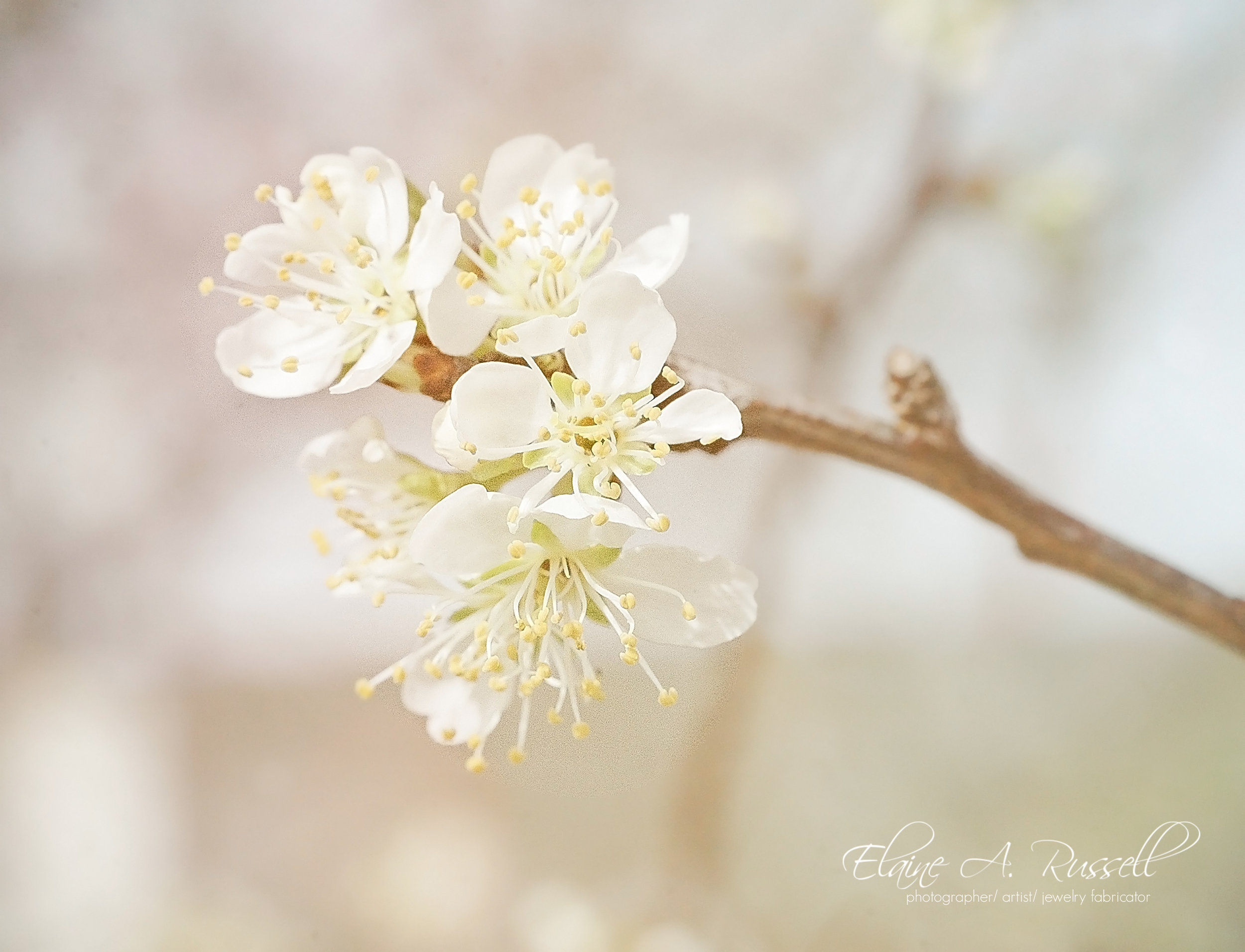 AppleBlossoms2 (1).jpg