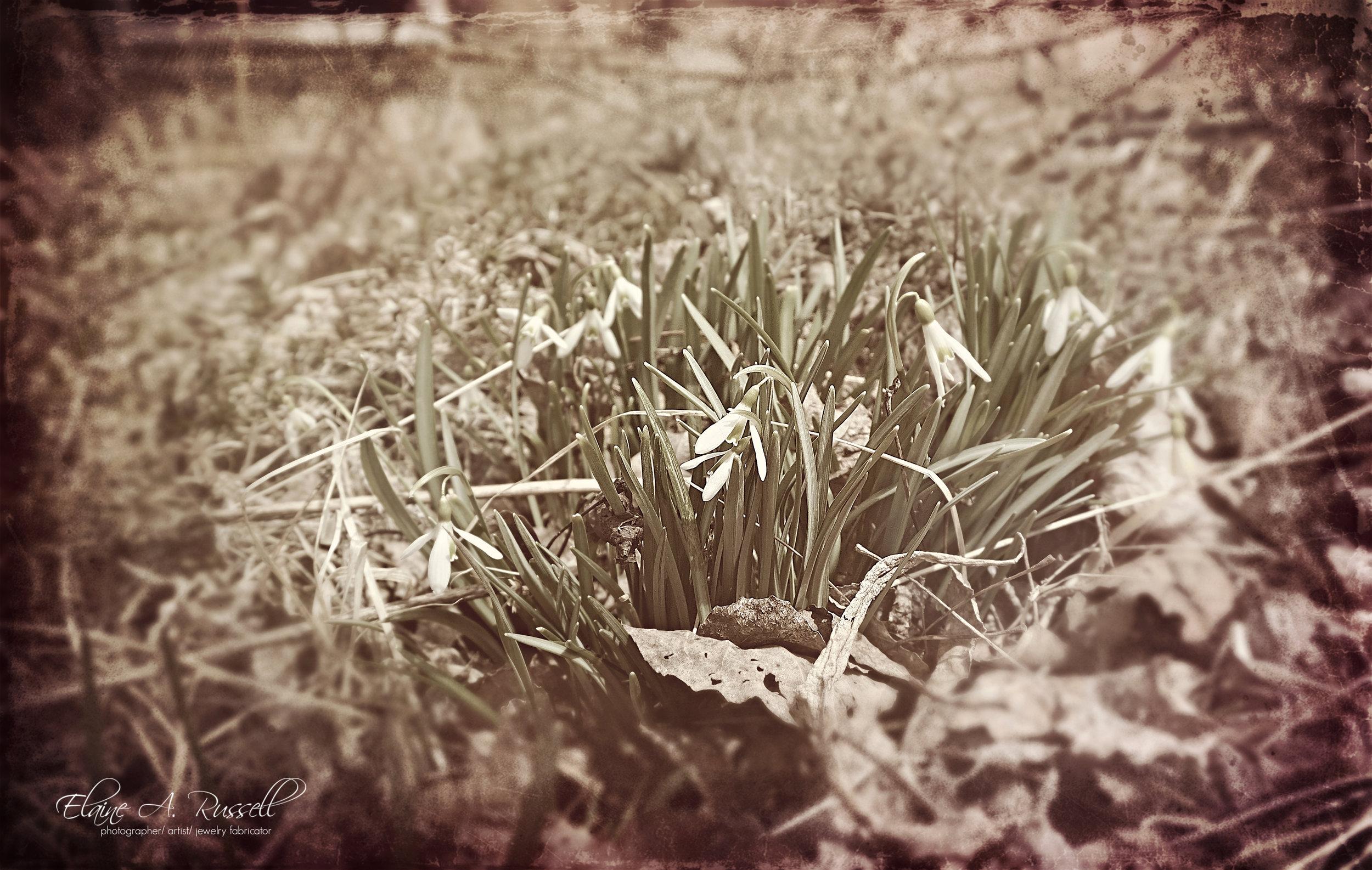 snowdrops2-2.jpg