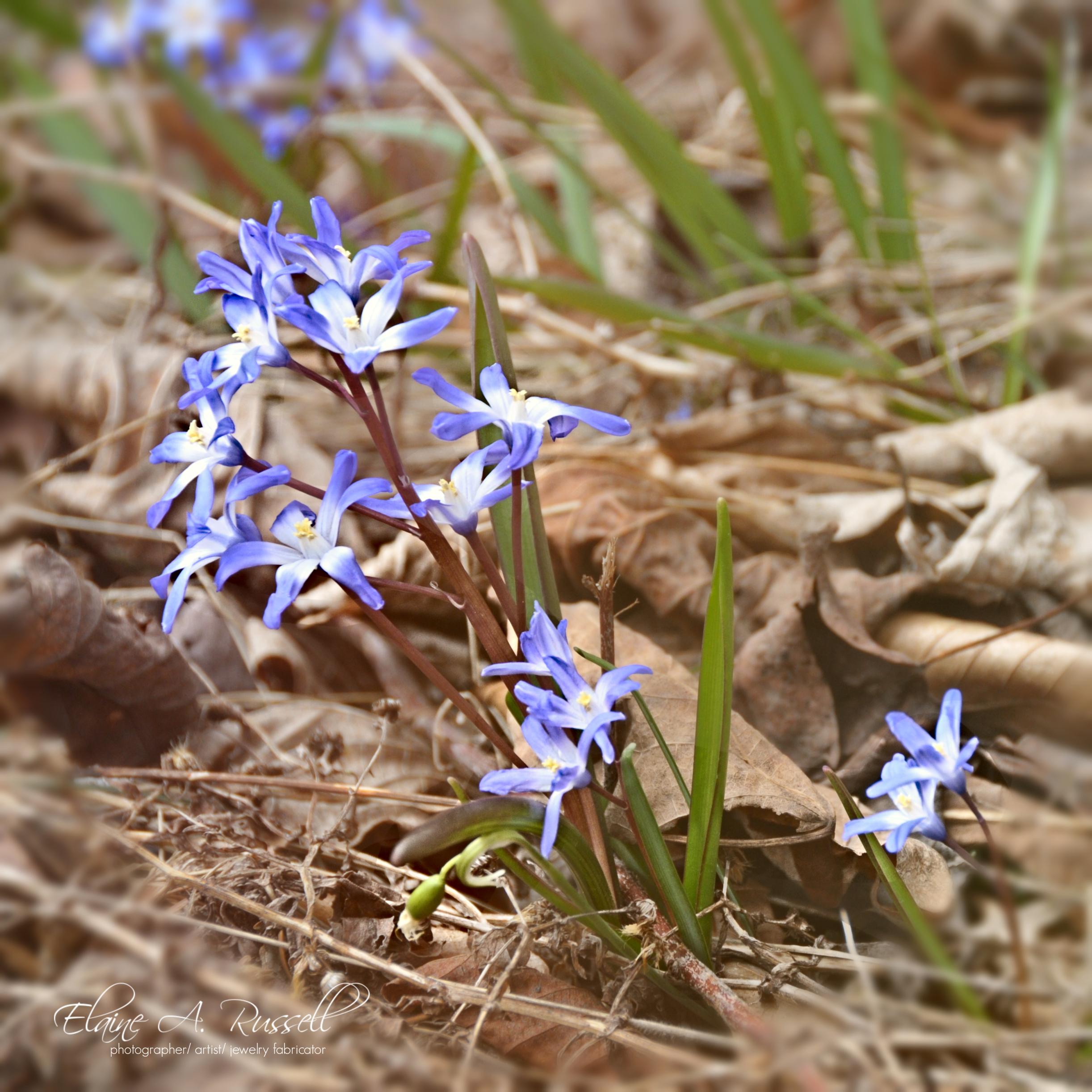 BlueEyedGrass2.jpg