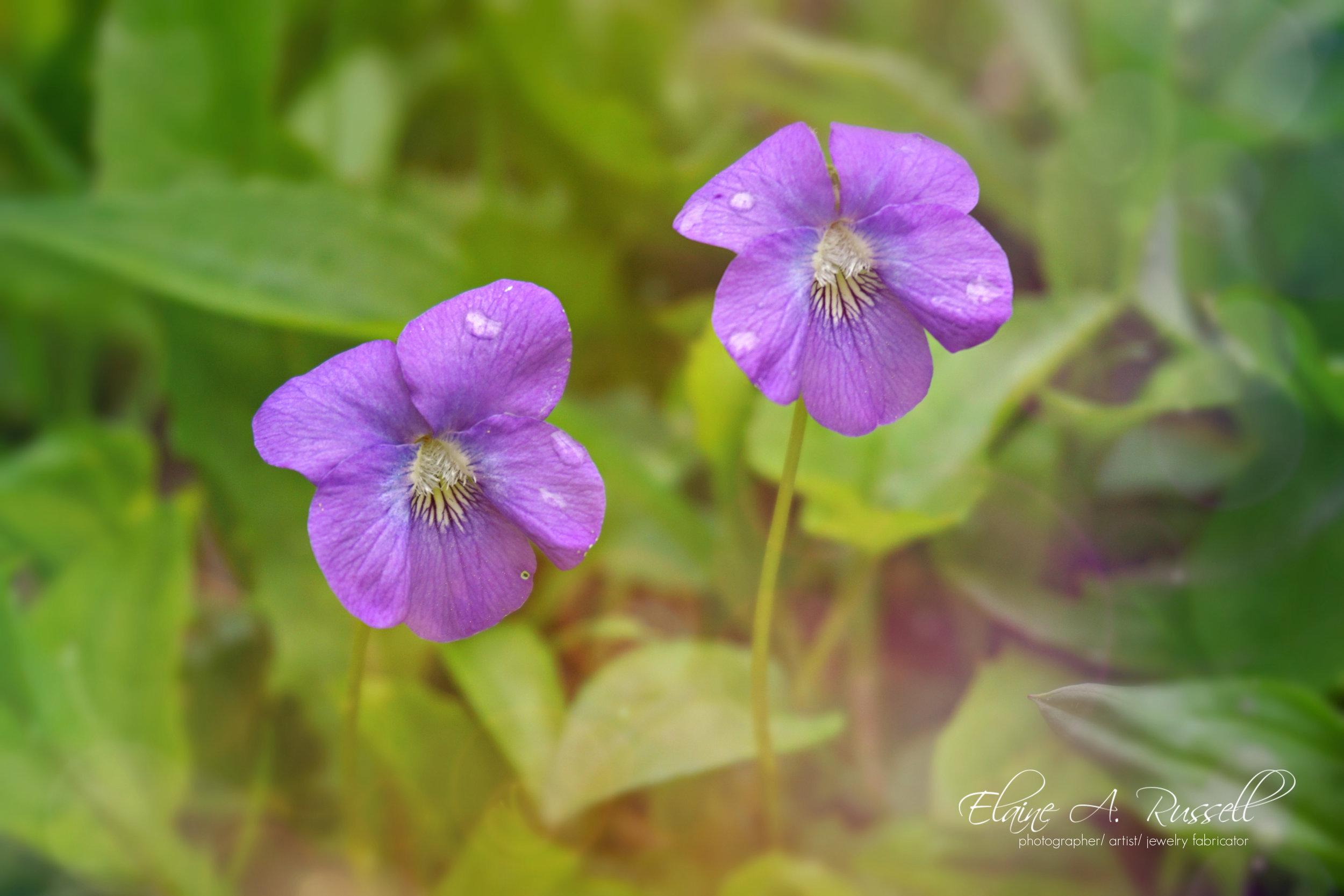 violets-signed.jpg
