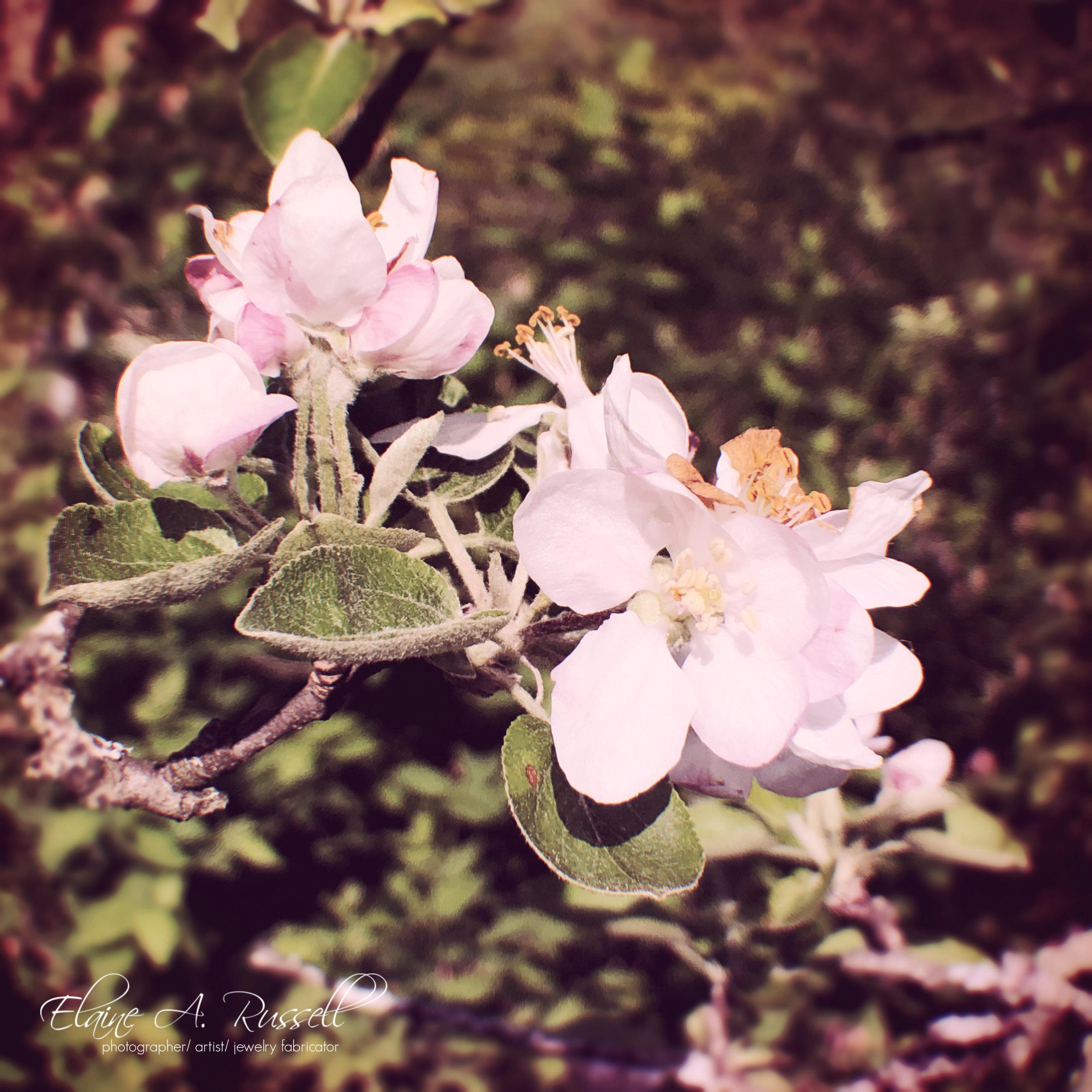 AppleBlossoms2.jpg