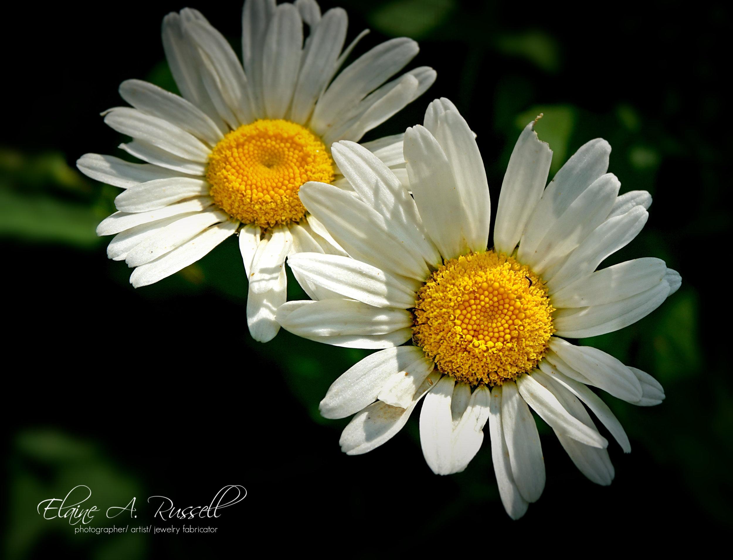 DaisyDuo2.jpg