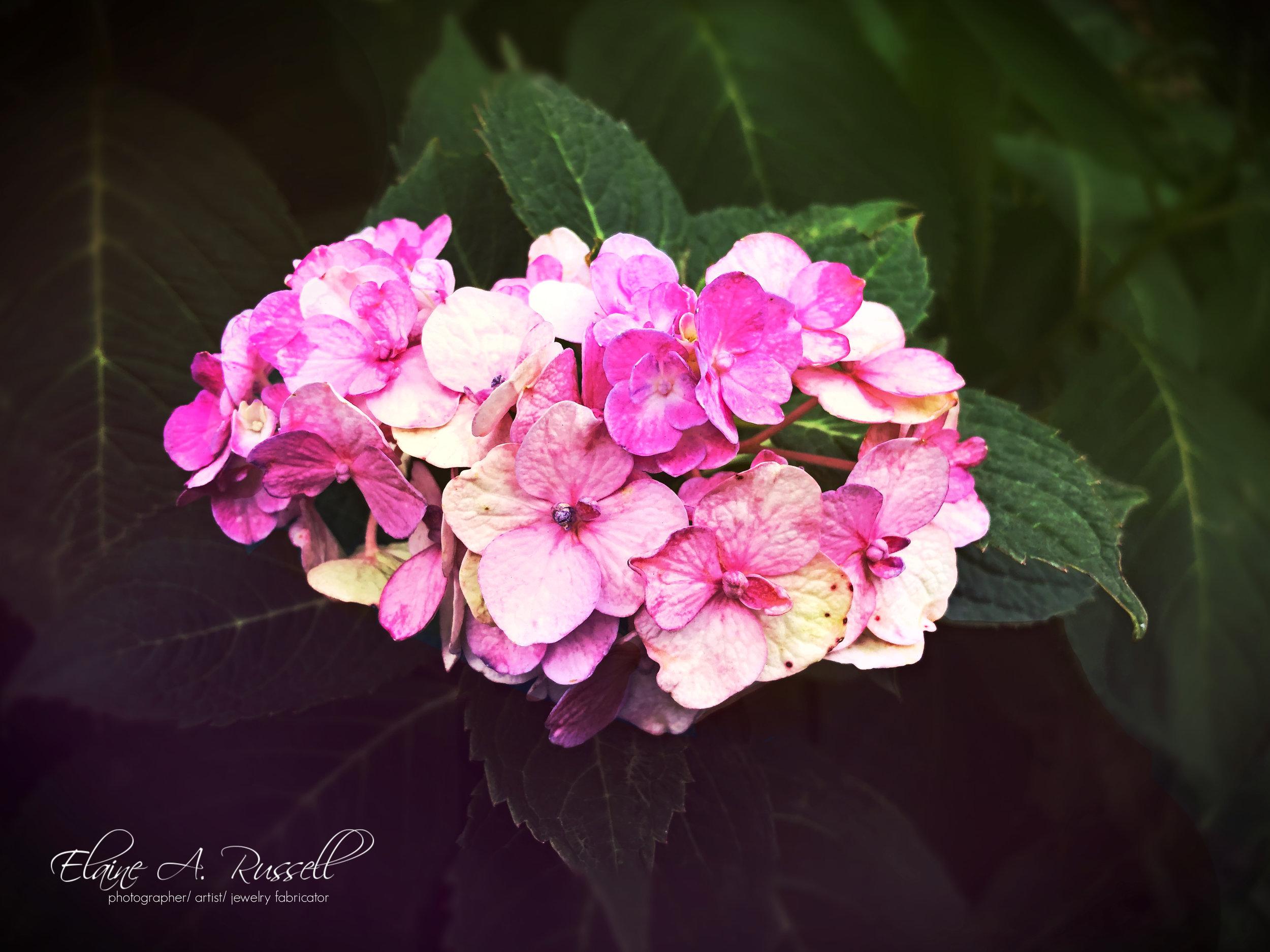 PinkHydrangea2.jpg