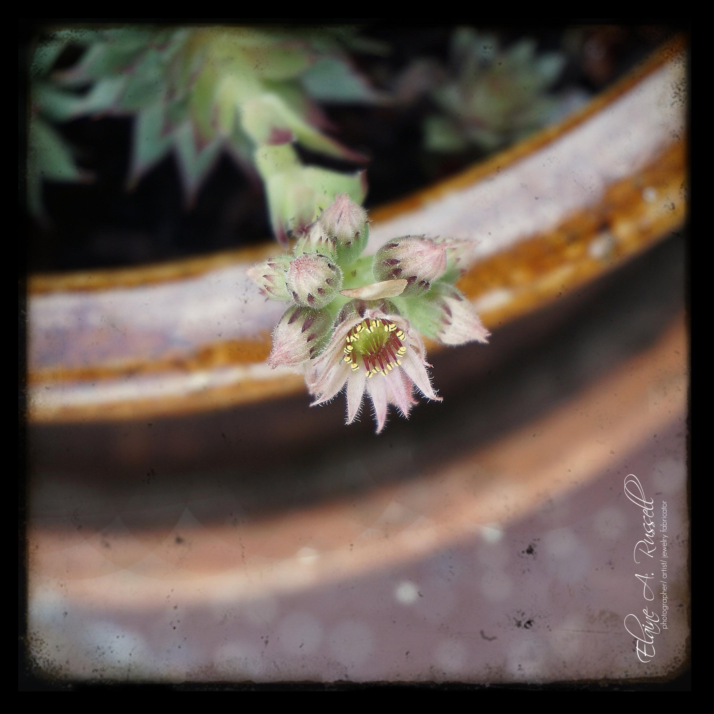 CactusFlower2.jpg