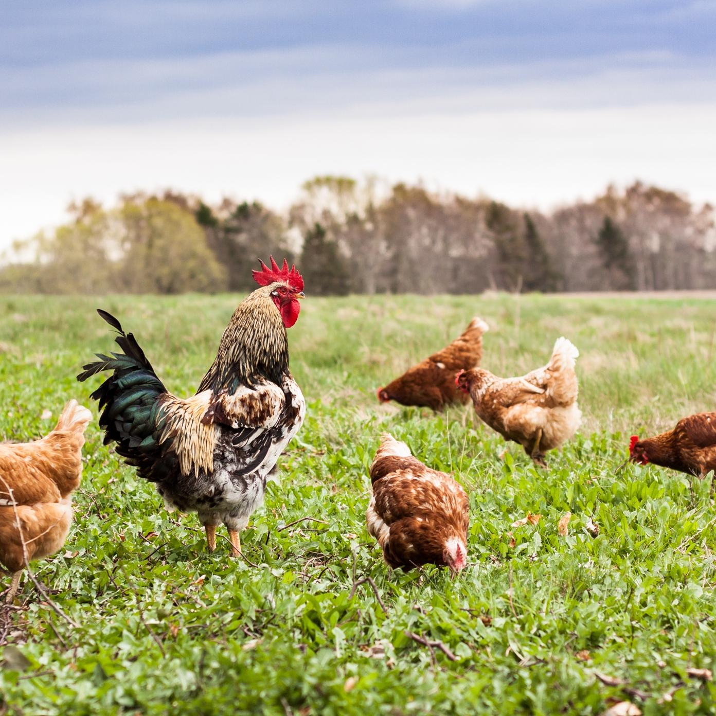 """""""Hele mit produkt handler om, at det er dyr, der kommer ud og går frit og spiser rigtigt meget græs. Dyr, der har et godt liv. Pludselig var jeg reduceret til noget, der mest af alt minder om en burhønseproducent"""" - — Johanne Schimming"""