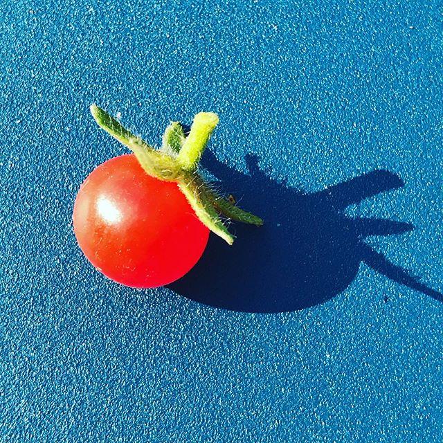 La plus petite tomate du monde! . . . . #jardin#summer#veggies#garden#natural#playful#freshfood#micafood#bestfoodfeed#bestfoodpics#belgium#brussels#picoftheday#food#healthyfood#foodporn#foodie#foody#yummy#love#healthylifestyle#organic#tomatoes Belgium 🇧🇪