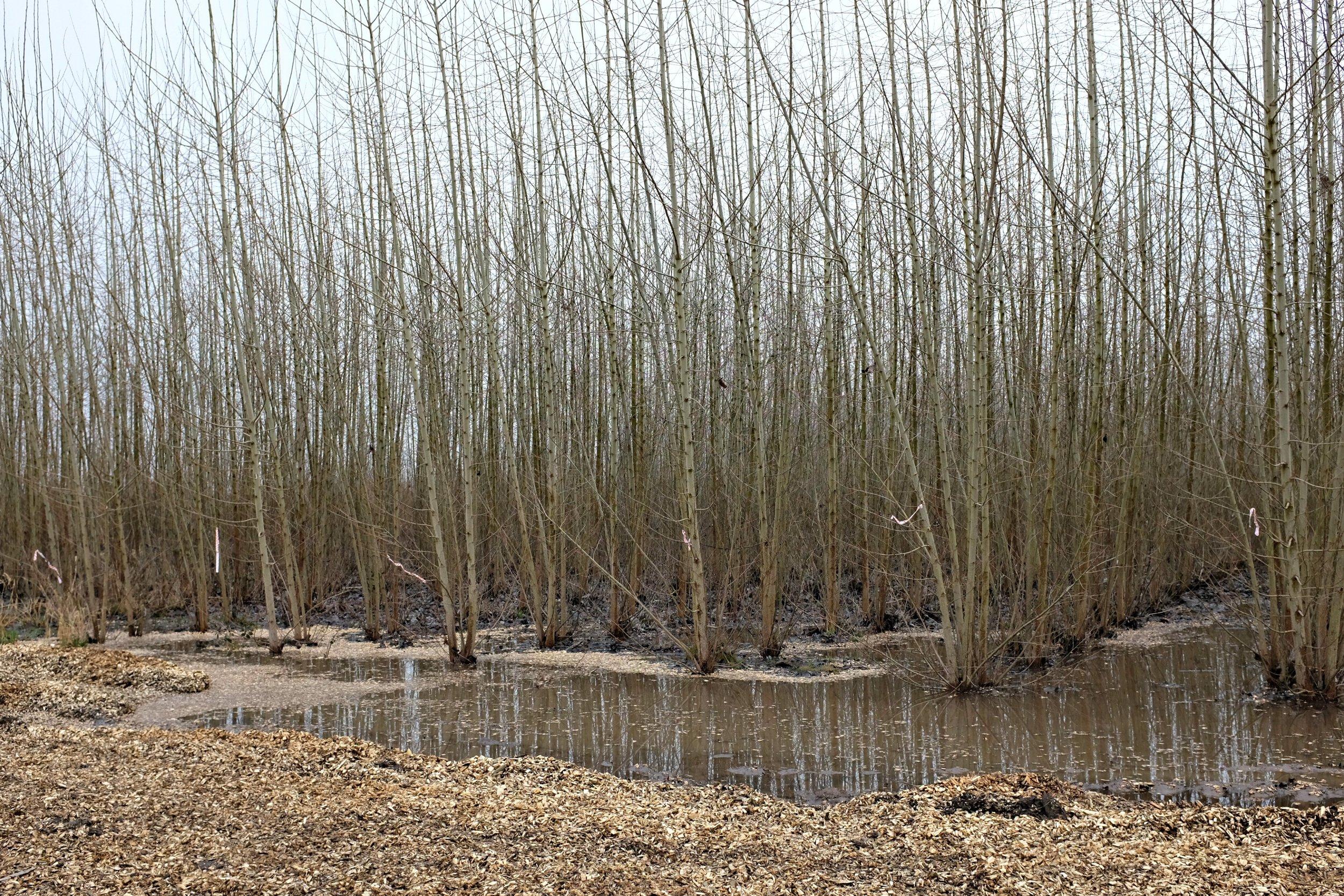 poplar-field-3.jpg