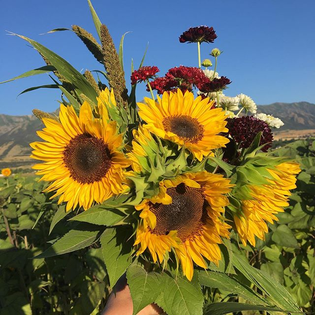 Fall subscription sale going on now! Sign up on the Florage website (link in bio) and receive a share of the flower harvest every week!🌻 Local flowers are at their peak, grab your share to enjoy the colors of the season!! 🧡💛❤️ #localflowers #buylocal #cachevalley #florageutah #paisleyflowerfarm #flowerfarmer