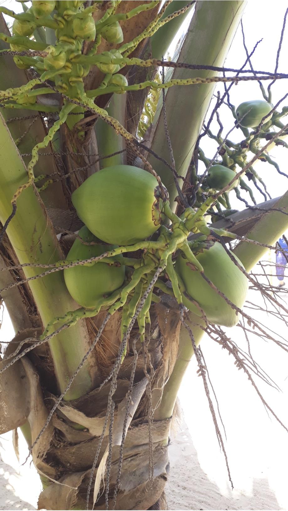 Mayaro - Coconut Tree.jpg