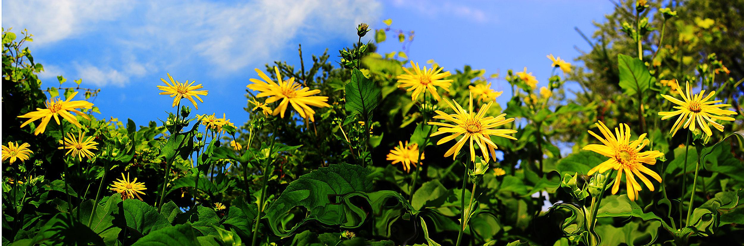 sunflower duotych.jpg
