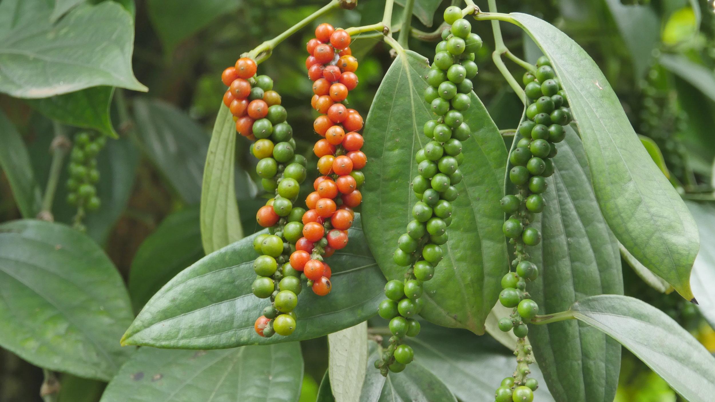 Roots-of-Peace-ROP-agriculture-Vietnam-black-pepper-vine-ripe.JPG