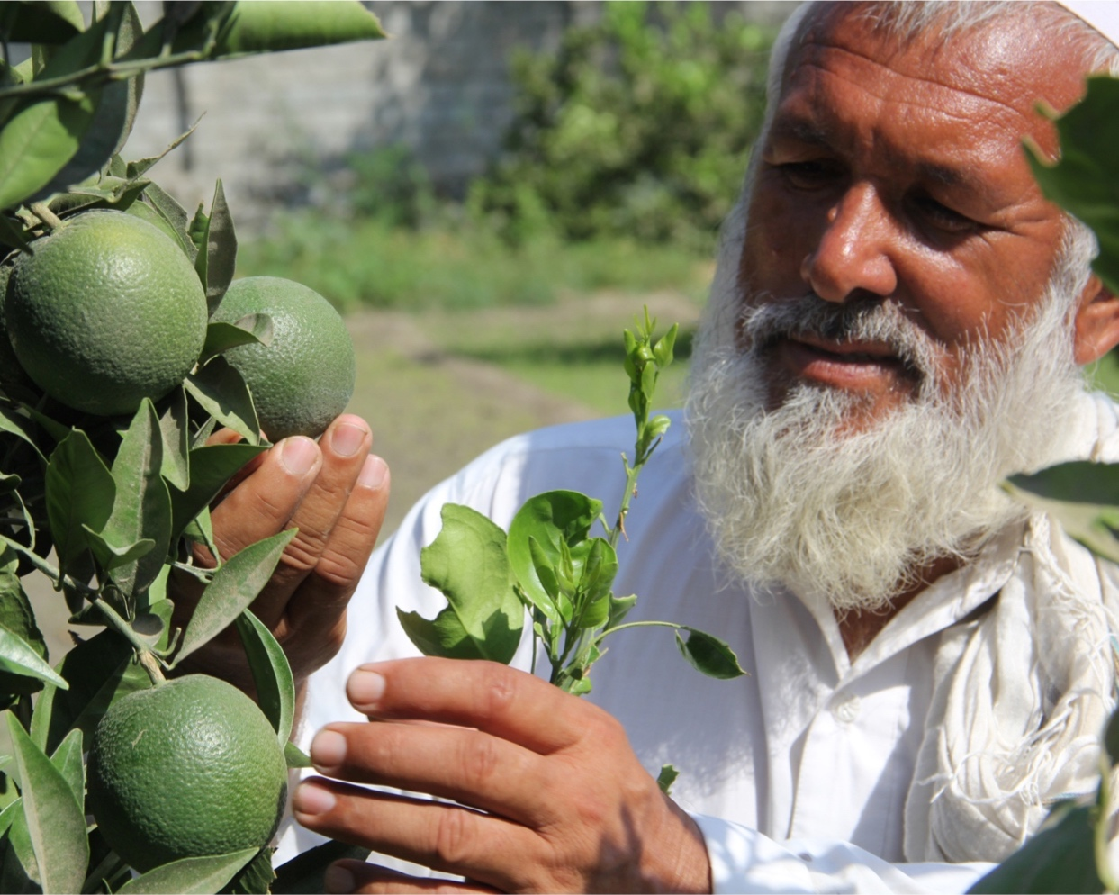 Roots-of-Peace-ROP-agriculture-citrus-farmer-lime-Afghanistan.jpg