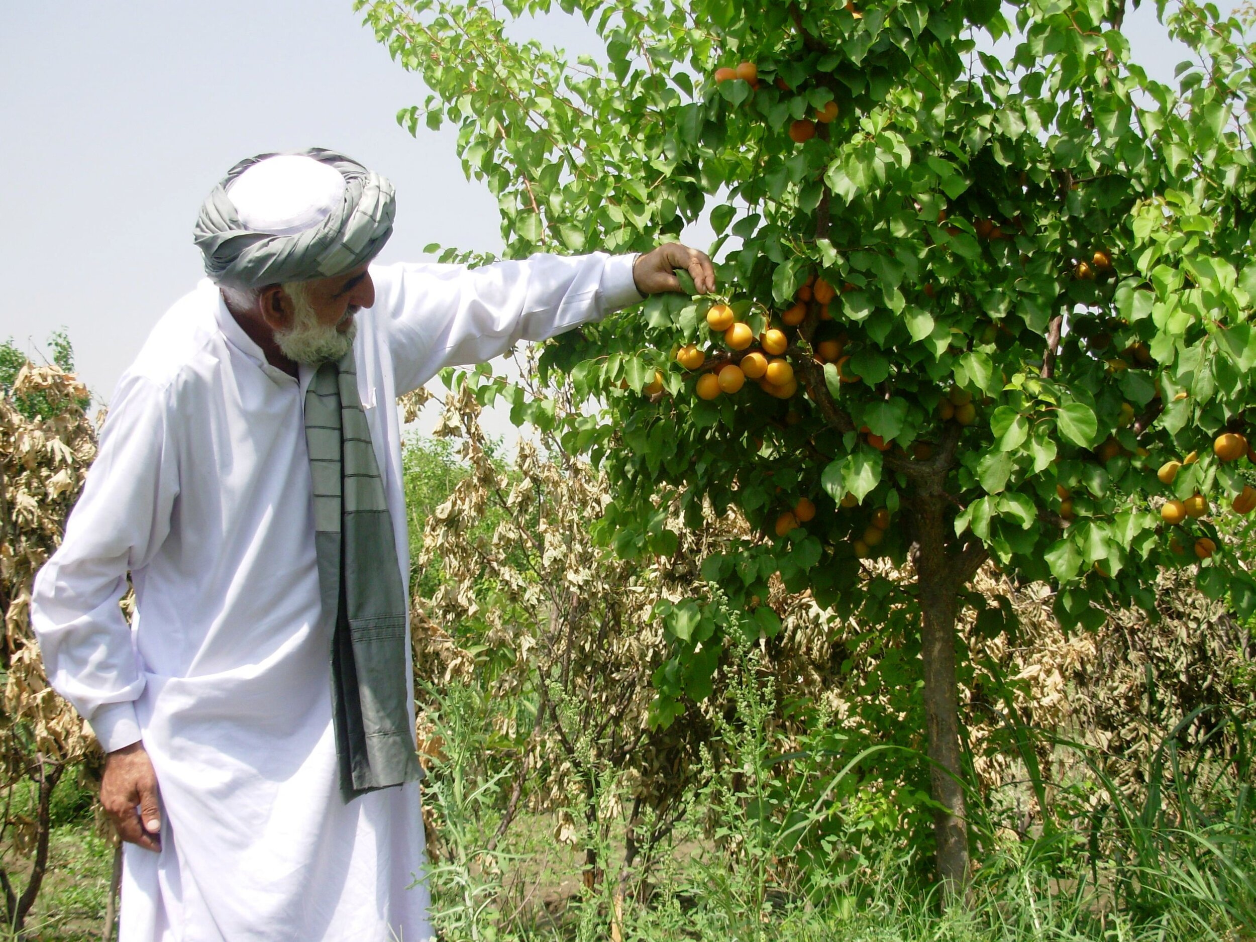 Afghan-Farmer-Roots-of-Peace-Afghanistan-Apricot-Orchard-Tree.JPG