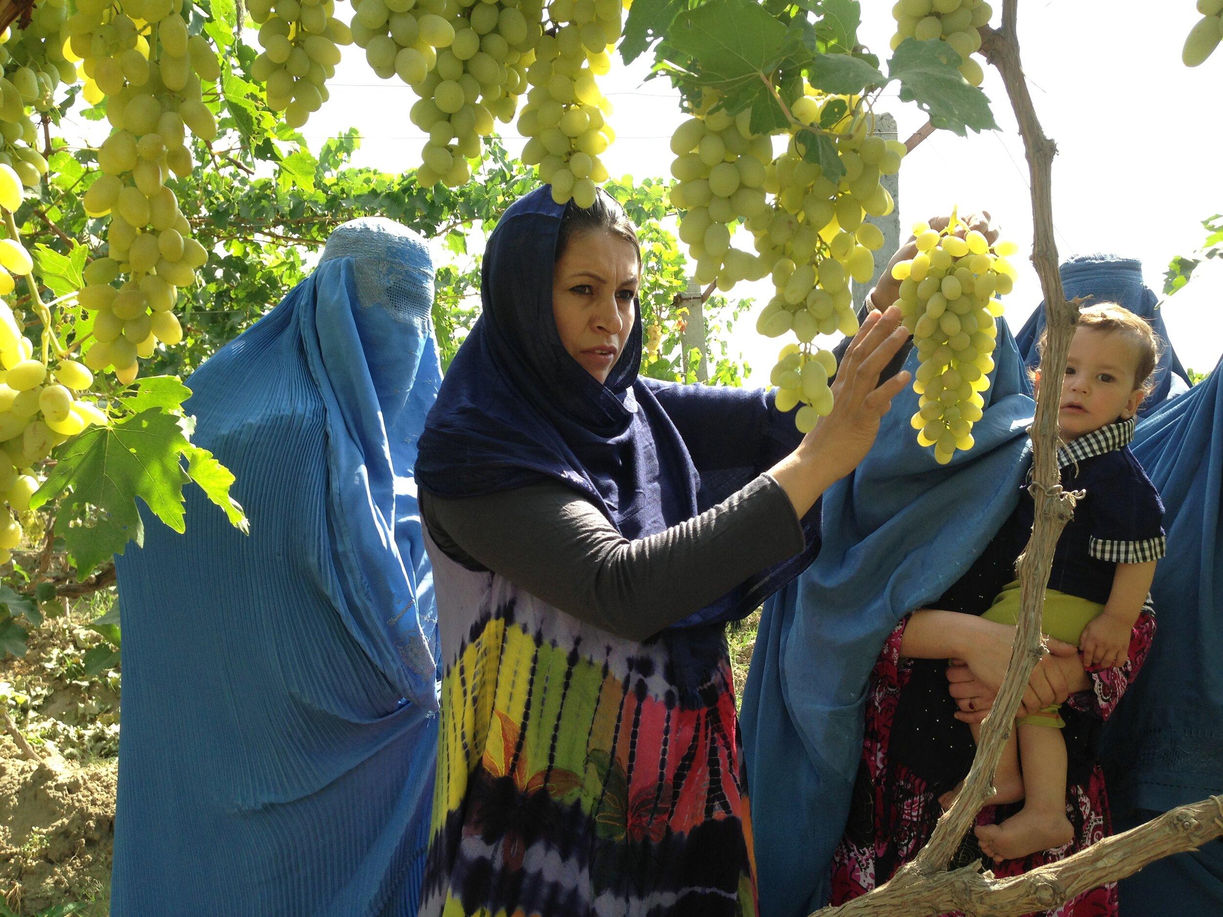 Afghan-Women-Farmers-Vineyard-grapes-Roots-of-Peace-ROP-burkha.jpg