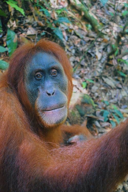 1Bukit-Lawang-Orangutan.jpg