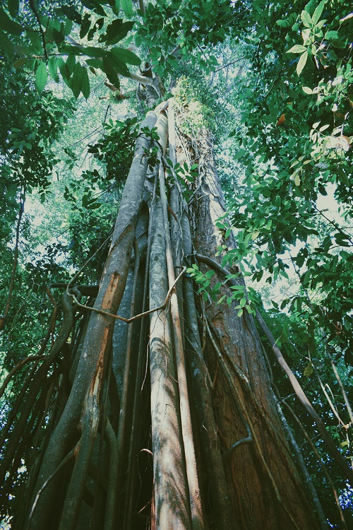 1Bukit-Lawang-Tree.jpg