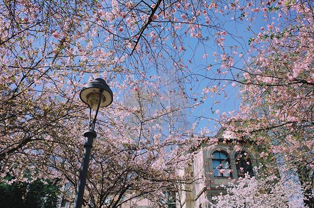 . . 2/2🌸Pink Bonn . How come the weather in London always like 💩??😫😫😫#Heerstrasse#cherryblossom#bonn