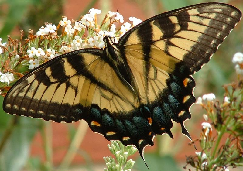 Male eastern tiger swallowtail butterfly. Photo by Debbie Foster.
