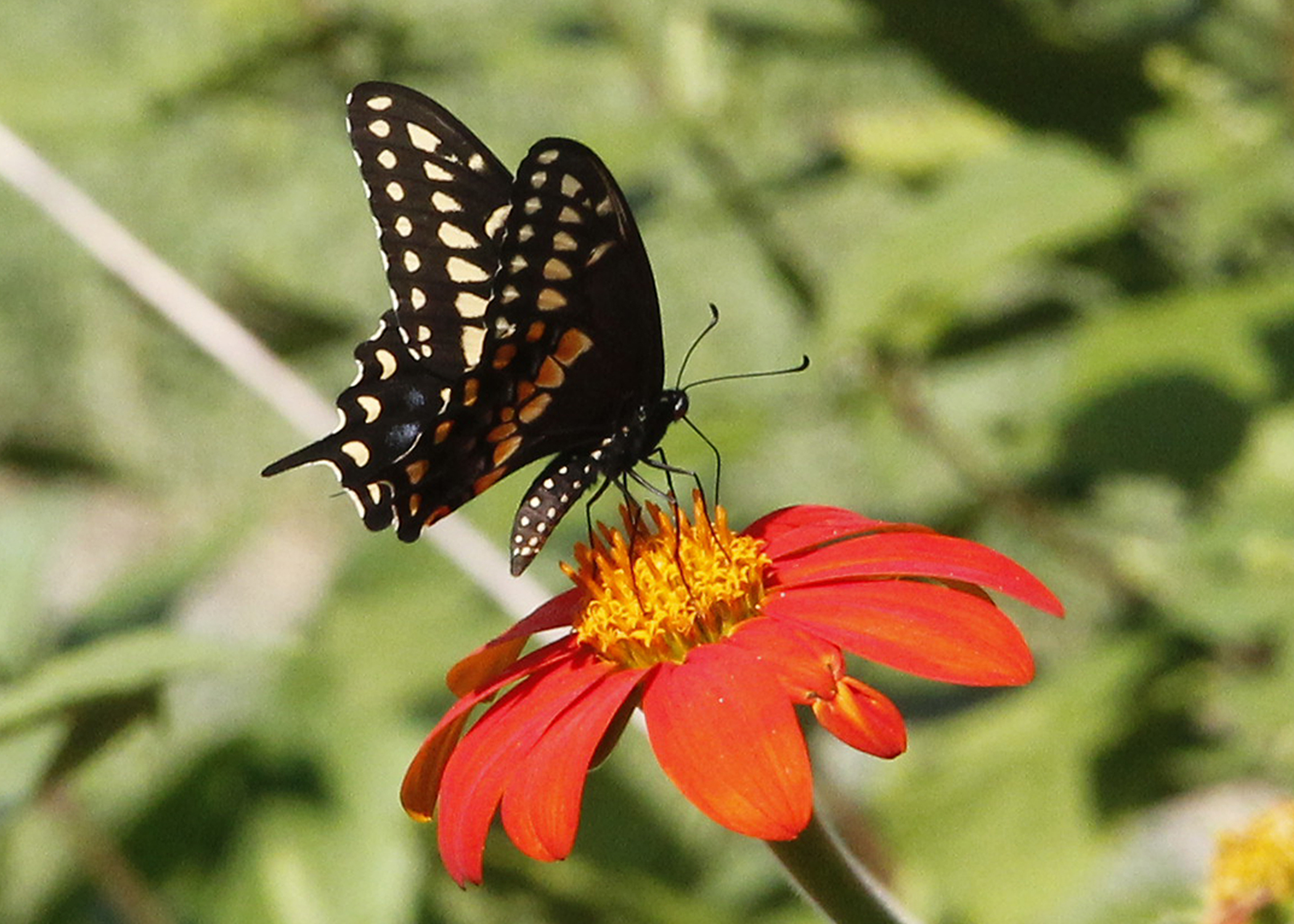 Spicebush swallowtail butterfly on a Mexican torch sunflower. Photo by Renee Garner.
