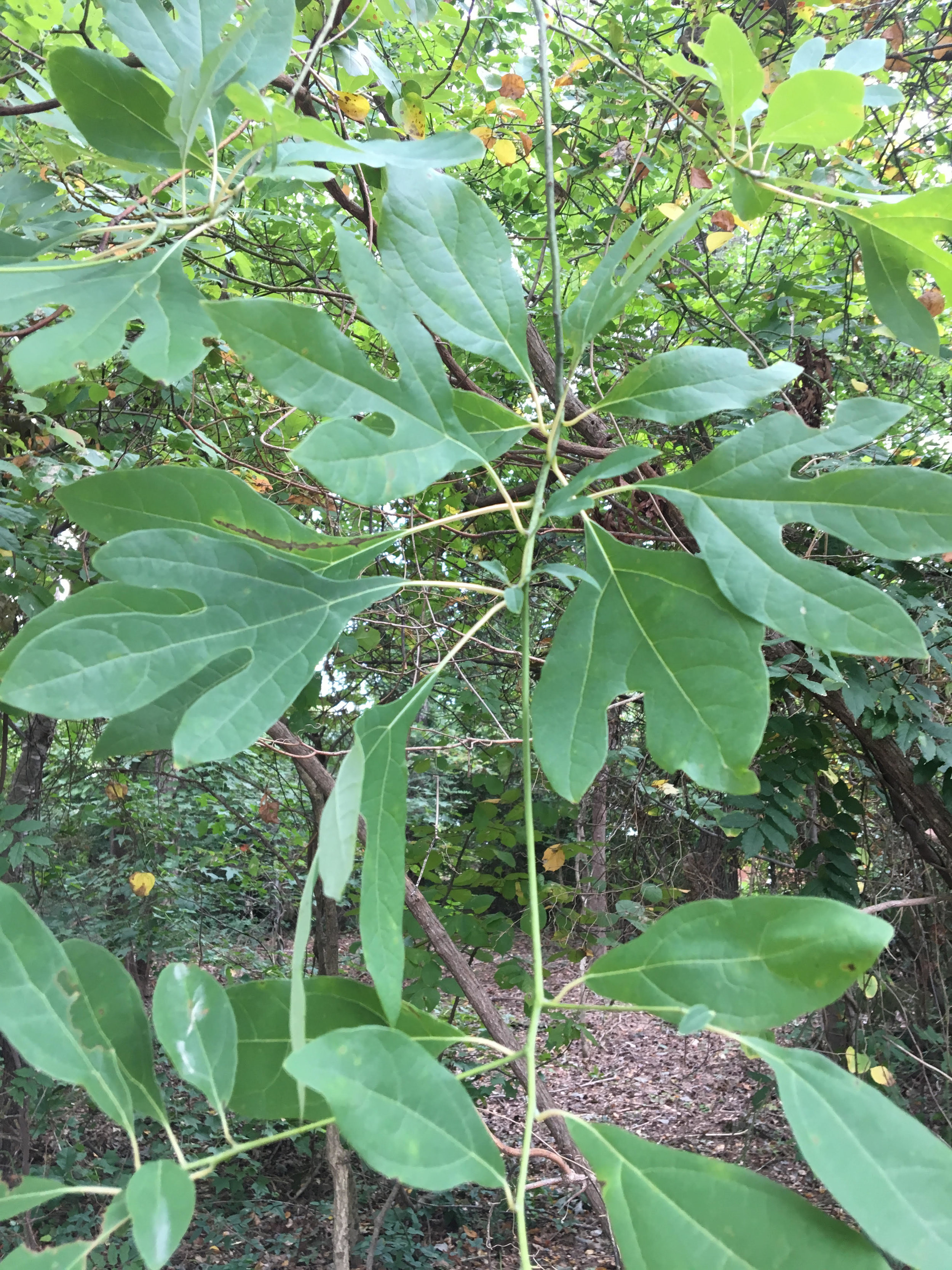 The leaves on the sassafras tree vary in lobed shape.