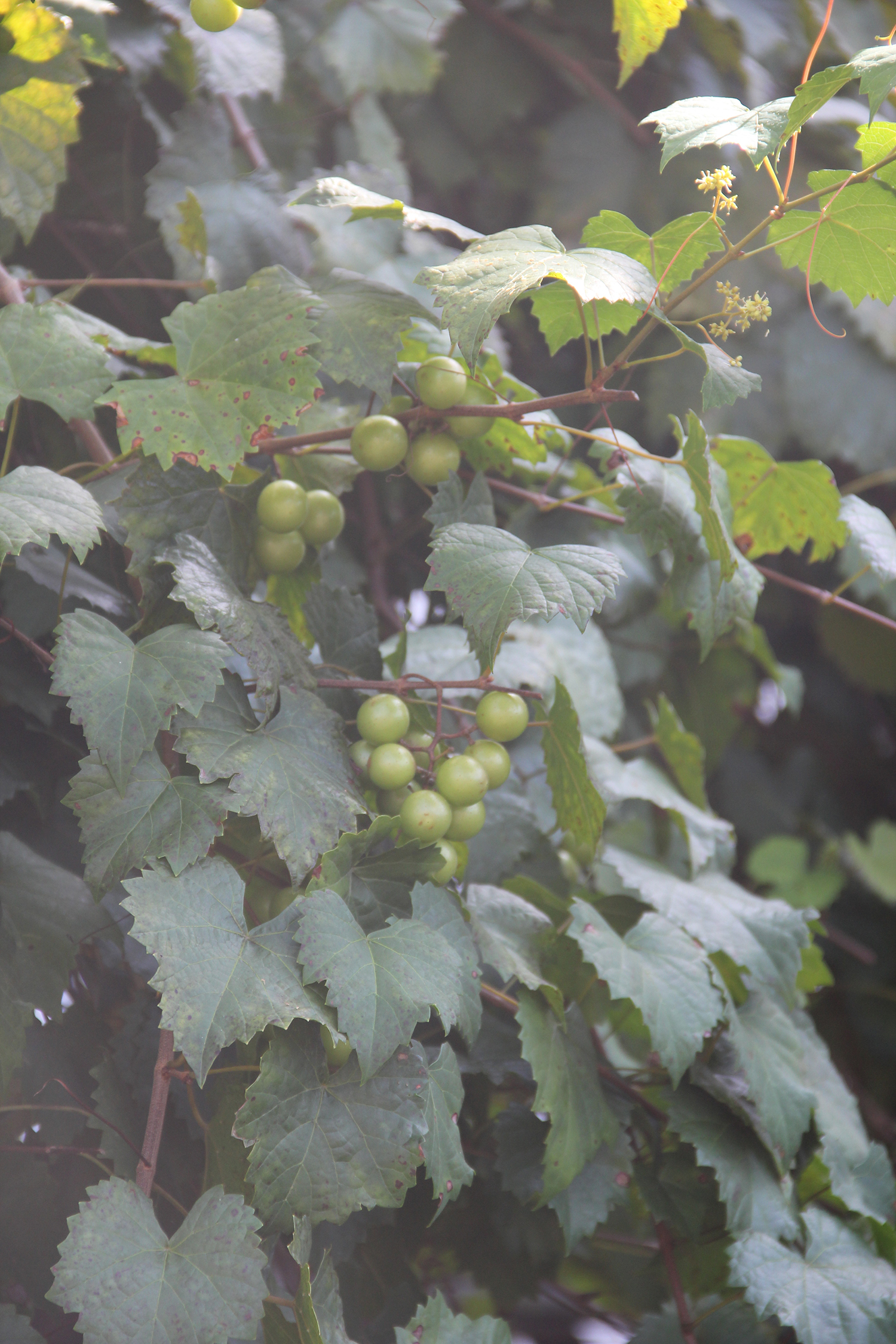 Native grapes such as muscadines are hardy and easy to grow here in Matthews.