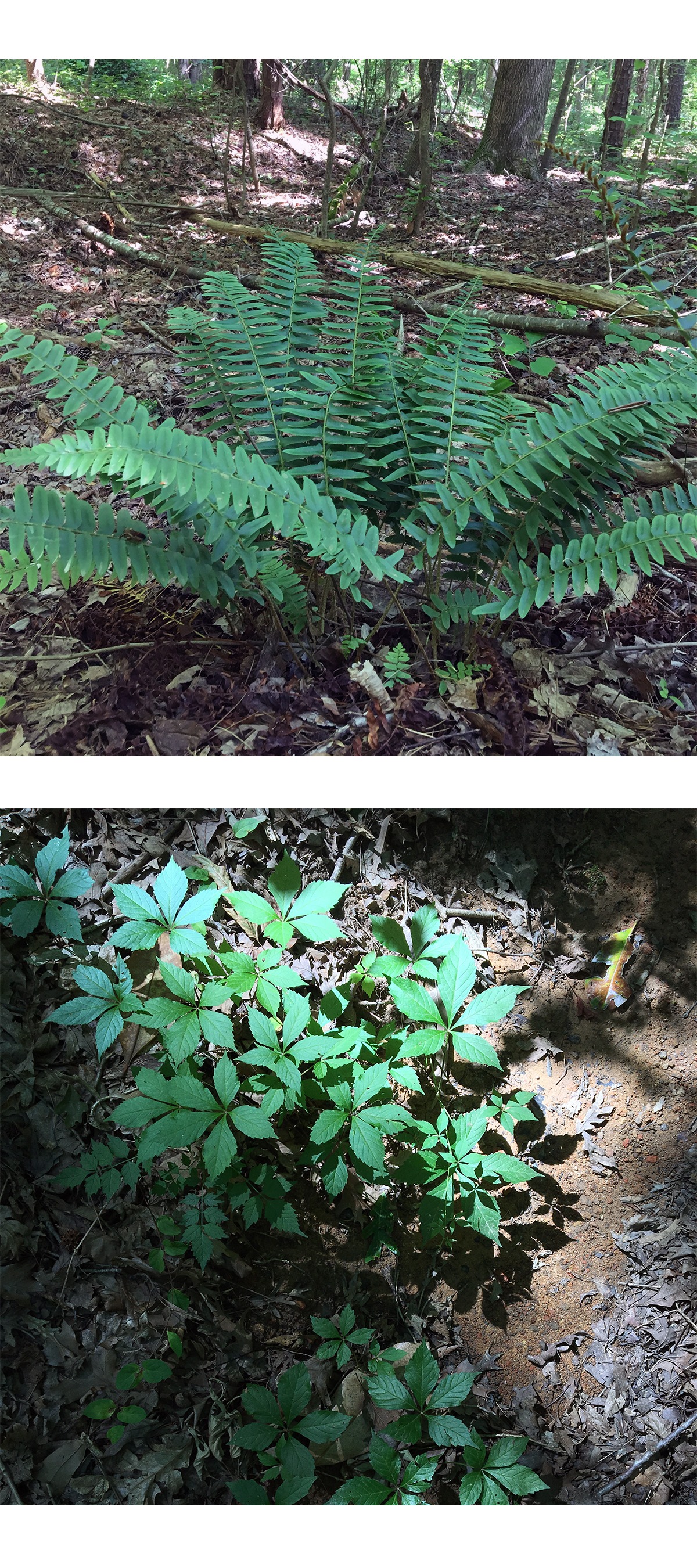Examine the flora: You'll see natives like club moss, wild ginger, and wild grapes, as well asinvasives (there's no shortage of kudzu.) -