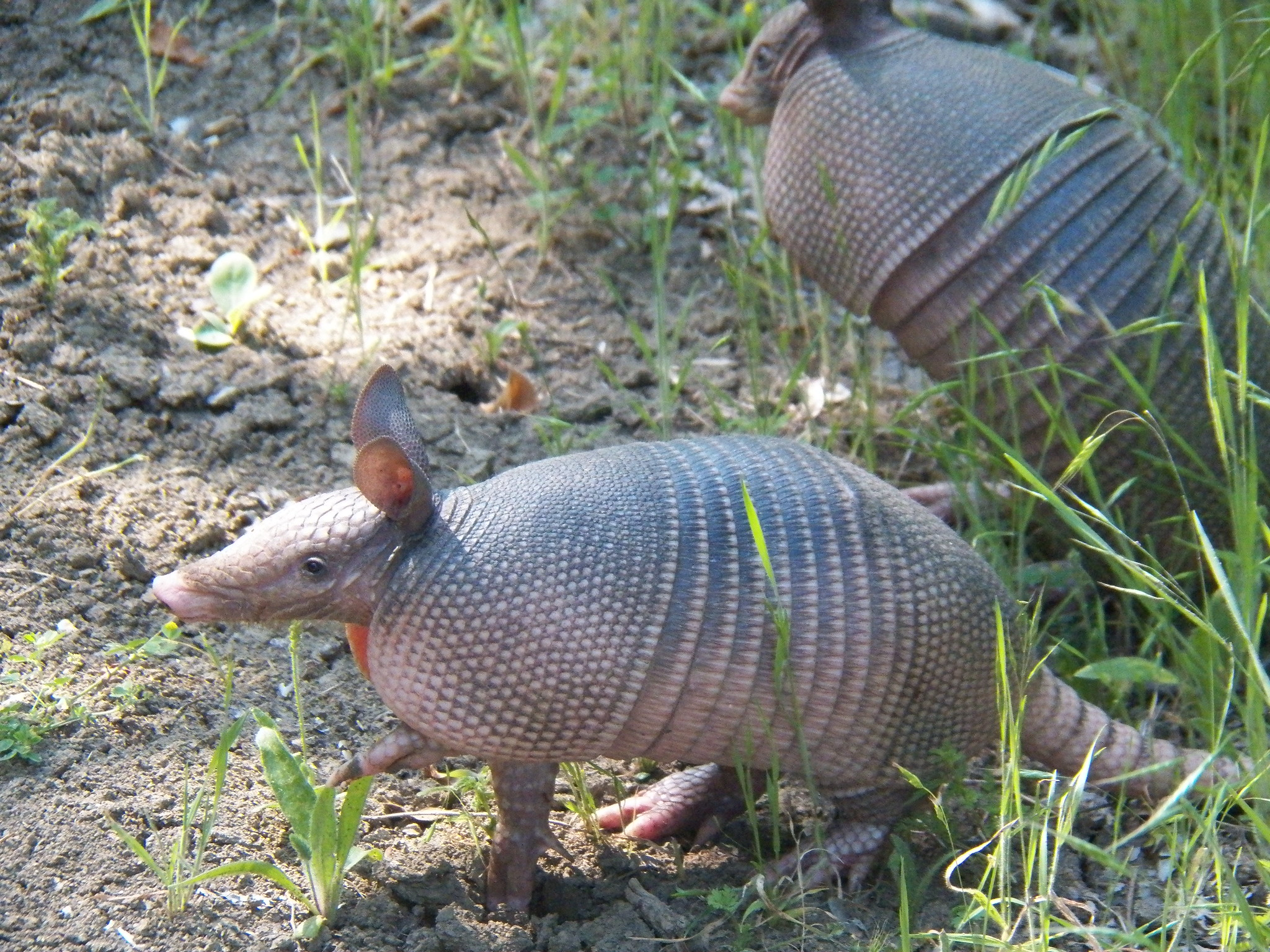 A photo of a nine-banded armadillo taken by    Flickr user Robert Nunnally