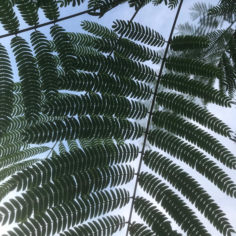 mimosa leaves.jpg