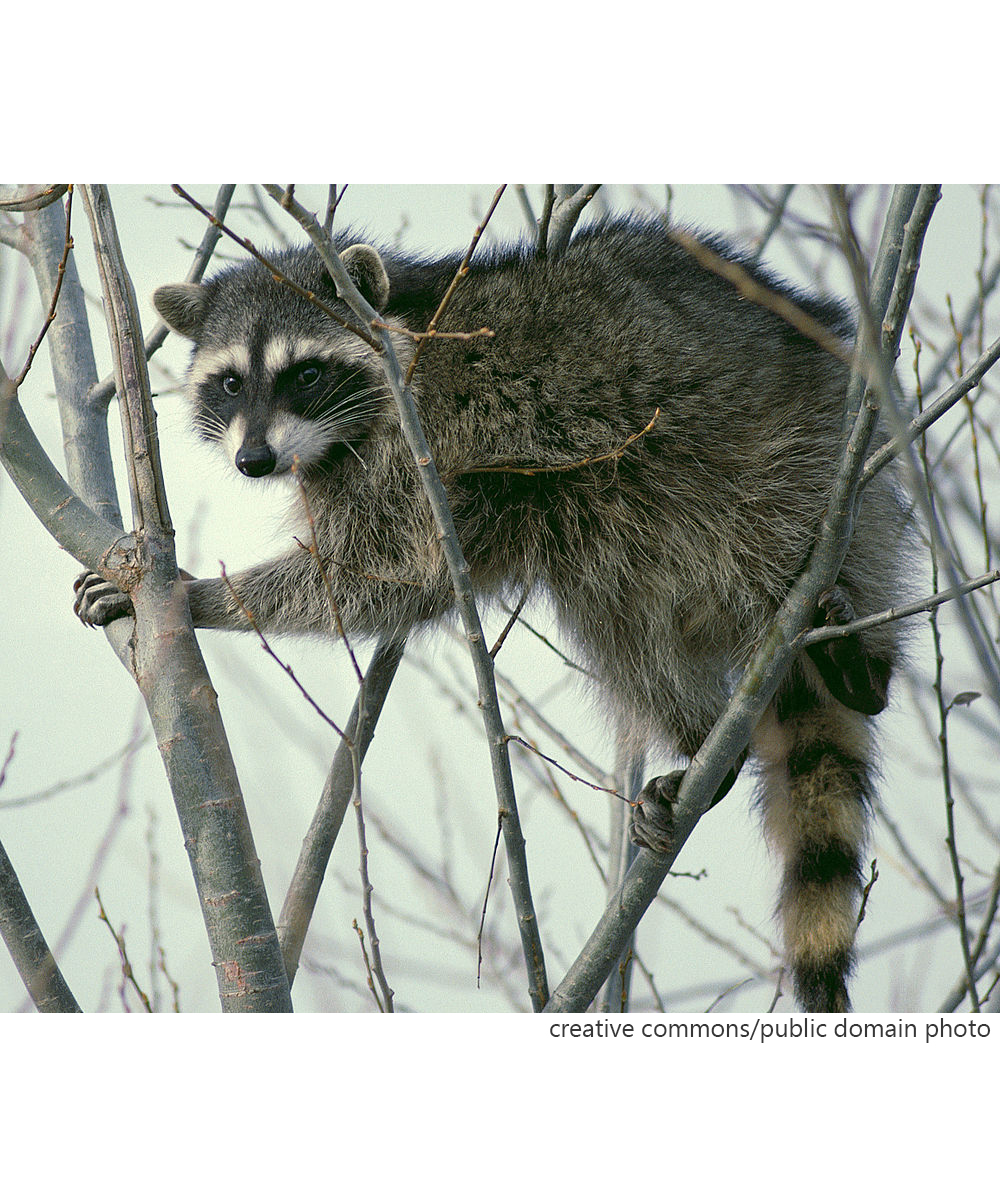 News About Town: This past Tuesday evening an aggressive raccoon was reported on the 2700 block of Briar Trail Ct. (near Matthews Charter Academy). The raccoon was removed by animal control and later tested positive for rabies. So far, there have been no reports of human exposure. If you or a pet may have come into contact with the rabid rascal, call the Mecklenburg County Health Department immediately at 704-614-6512 or 704-589-3242. If your pet is not up to date on its rabies vaccine, Charlotte-Mecklenburg Animal Control offers free rabies vaccine clinics the second Saturday of every month.According to the NC Department of Public Health, there were 14 cases of rabies in 2018, and eight confirmed cases in 2019, including a rabid cat found near Novant Hospital Matthews. -