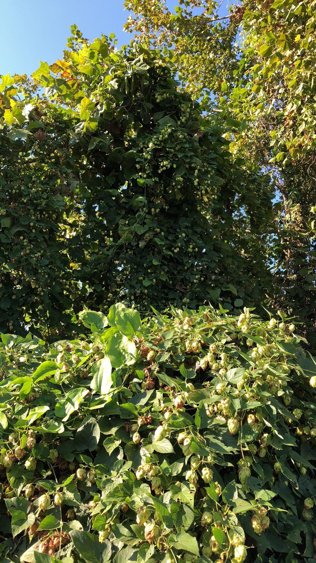 wild hops for ebb.JPG