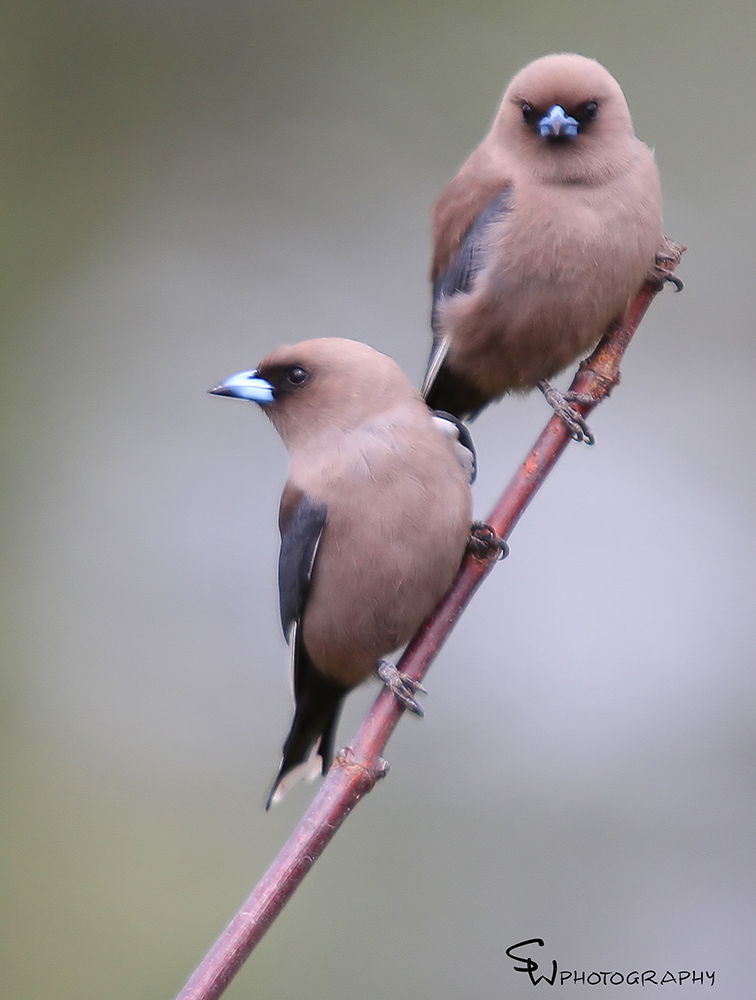 Dusky Woodswallows