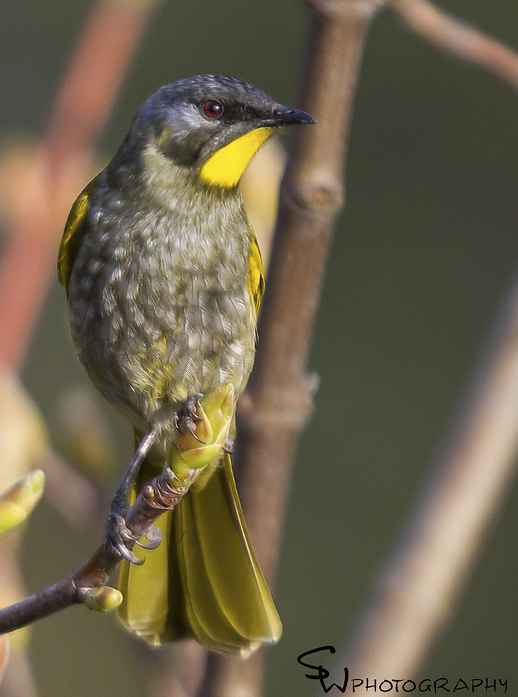 Yellow Throated Honeyeater