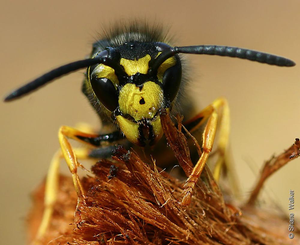 Europian Wasp