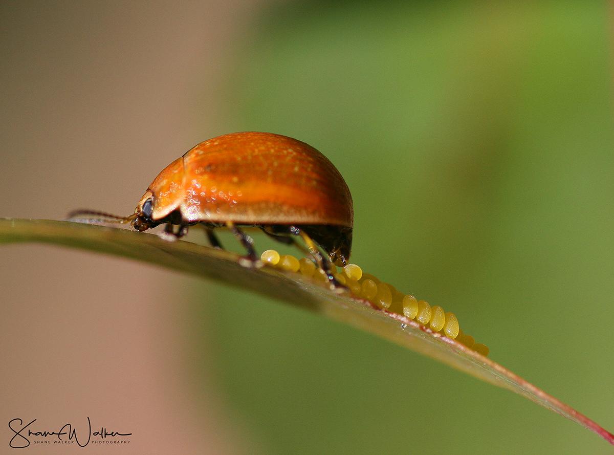 beetleeggsfb.jpg