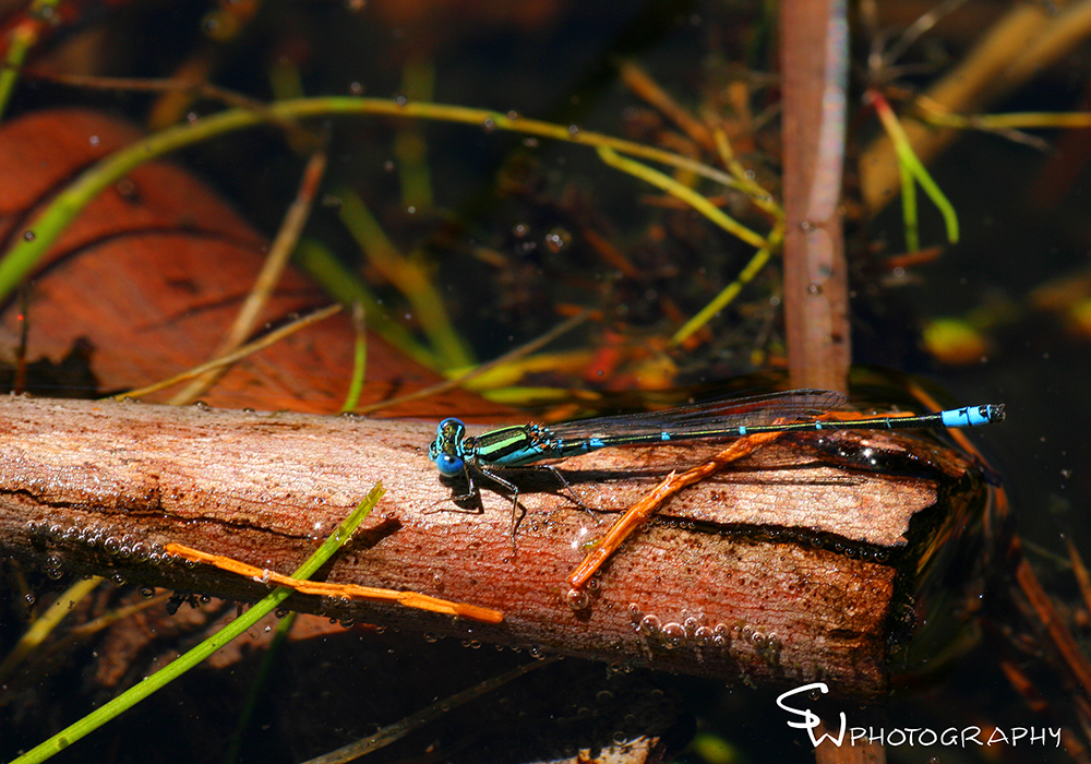 Common Bluetail, Ischnura heterosticta tasmanica.jpg