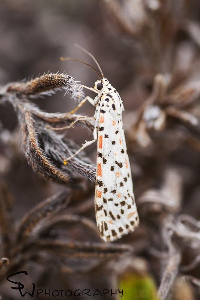 Heliotrope Moth, Utetheisa pulchelloides.jpg