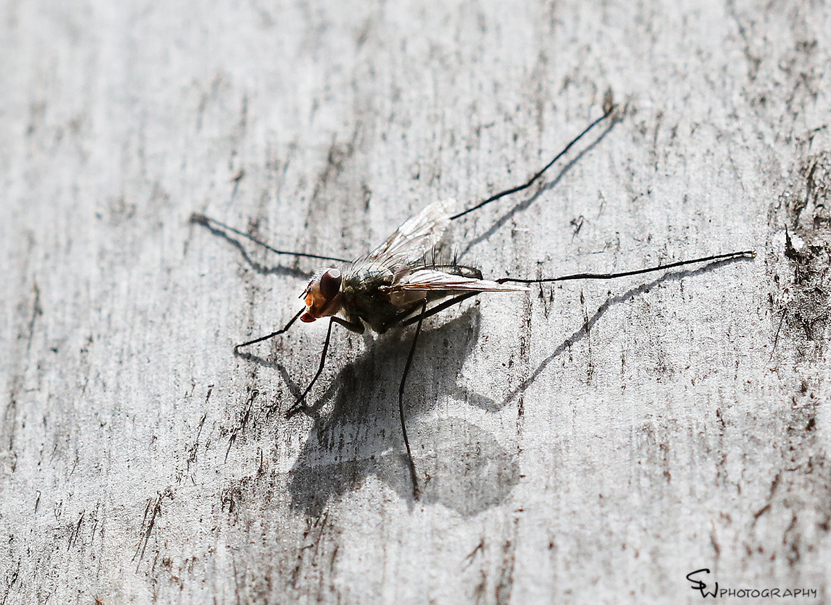 Tribe Dexiini tachnid flyfb.jpg