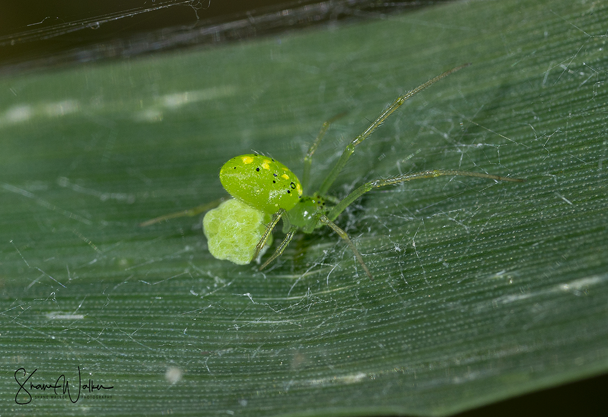 Combed Footed spider