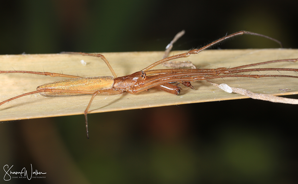 Long Jawed Orb Weaver