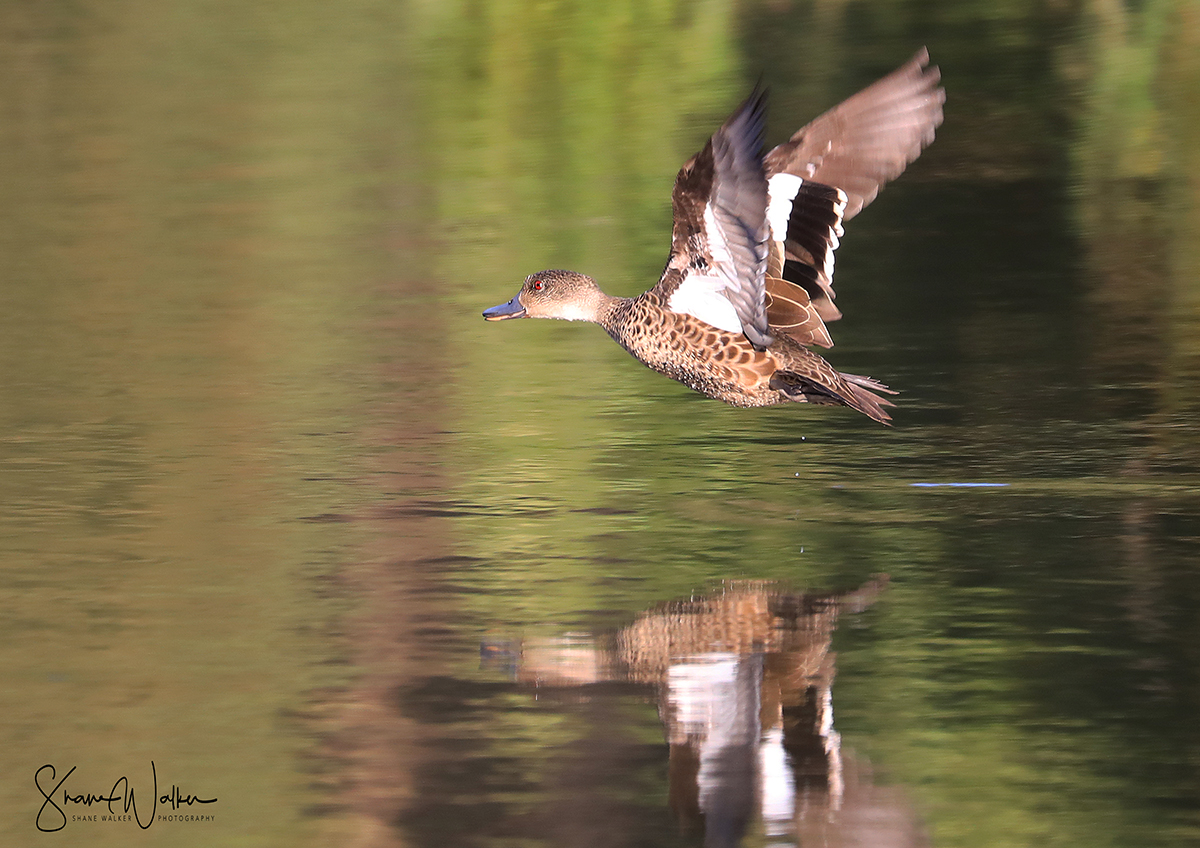 Grey Teal Duck