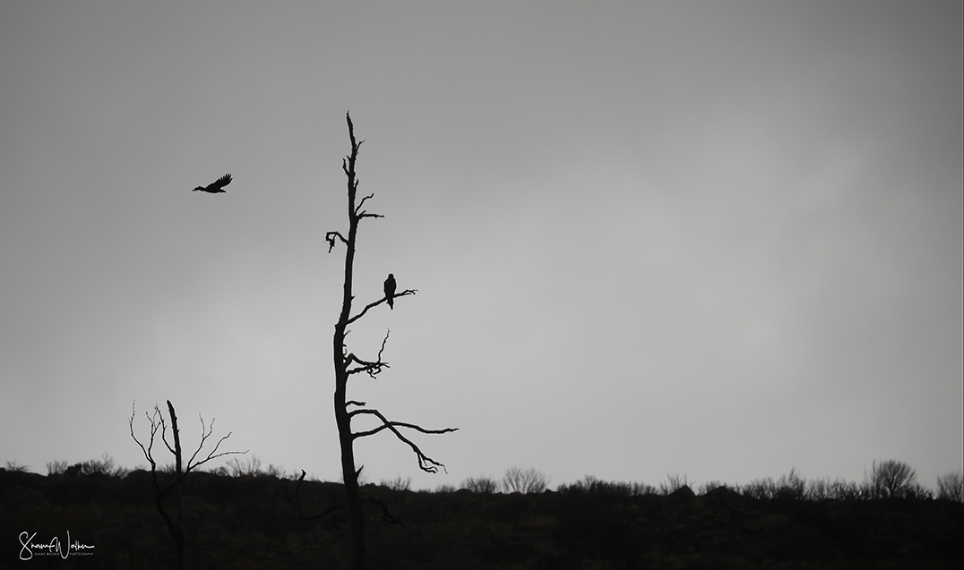 Wedgetail Eagles in Storm