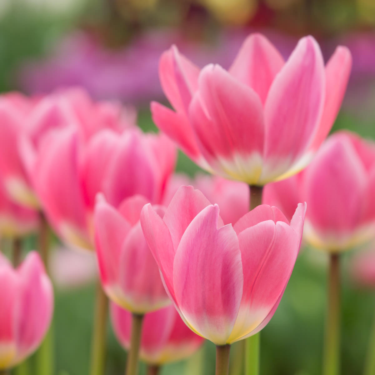 colorful-tulips-PKZ8NFX-1.jpg