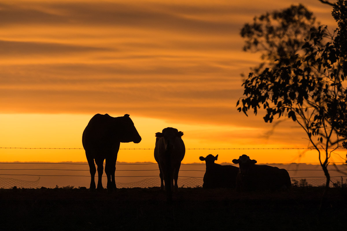 Cattle at dusk. Tonderburine, New South Wales.