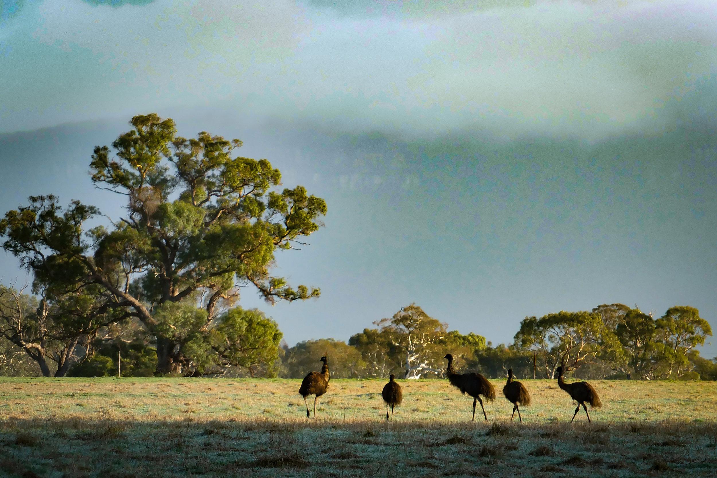 EMUS - THE GRAMPIANS - VICTORIA