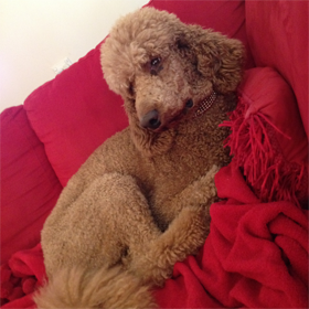 leo poodle (kim ford).png