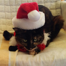 Suki cat ragdoll cross (Dorothy Horne).png