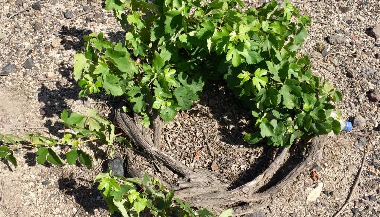 Santorini Assyrtiko vine
