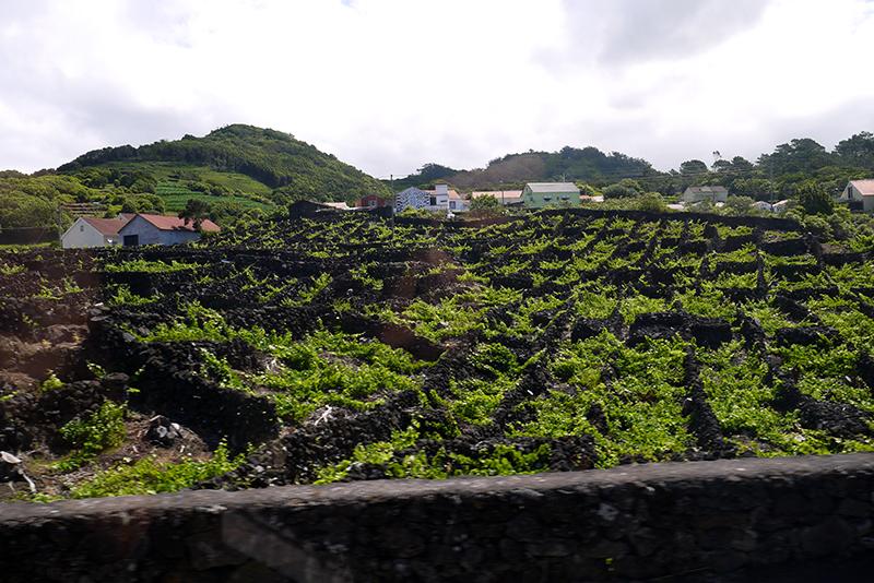Azores-vineyard#2.jpg