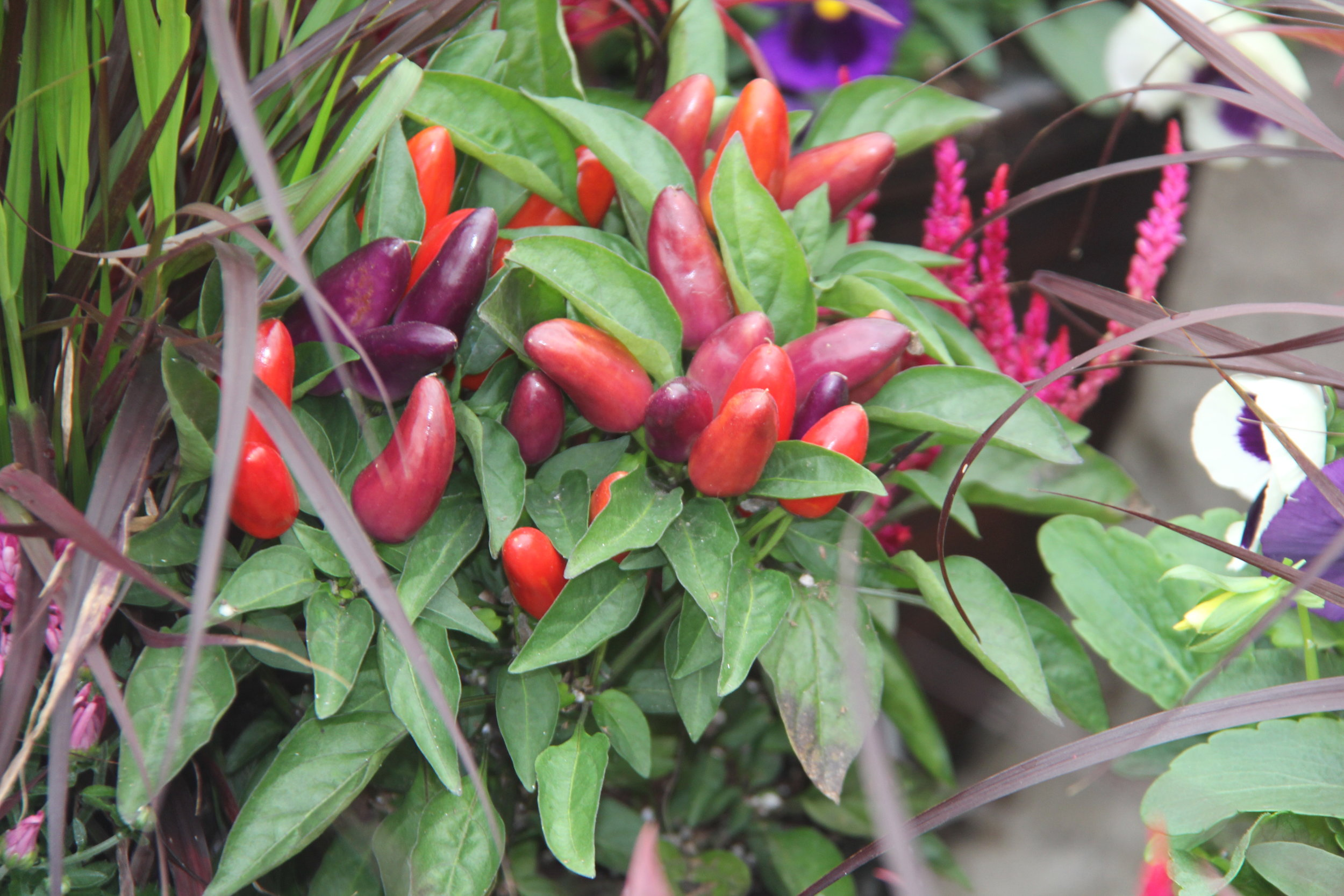 Fall Ornamental Pepper $5.99