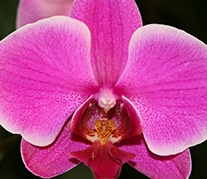 """6"""" Orchid $24.99"""